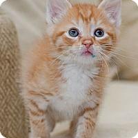 Adopt A Pet :: Butterball - Reston, VA