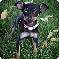 Adopt A Pet :: Sydney - Broomfield, CO