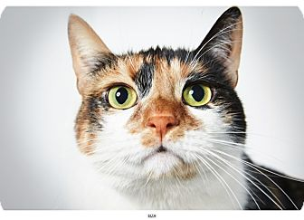 Calico Cat for adoption in New York, New York - Liza