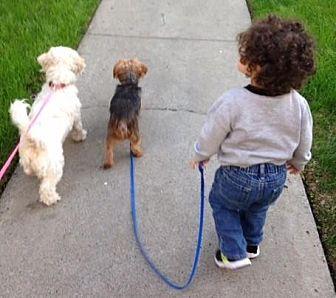 Maltese/Poodle (Miniature) Mix Dog for adoption in Vista, California - Chloe