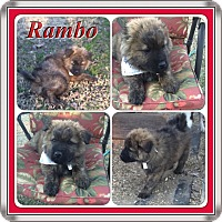 Adopt A Pet :: Rambo1 in CT - Manchester, CT