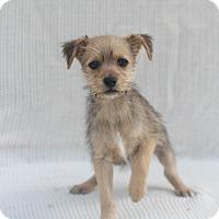 Adopt A Pet :: Fuzzy Bear - Loomis, CA