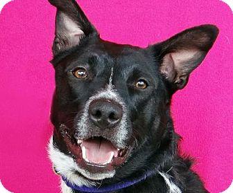 Blue Heeler/Labrador Retriever Mix Dog for adoption in Renfrew, Pennsylvania - Izzy