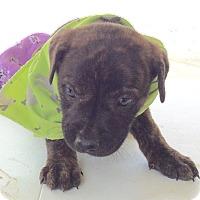Adopt A Pet :: Farley - Albany, NY