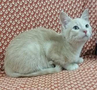 Domestic Shorthair Kitten for adoption in Hawk Point, Missouri - Sir Baron