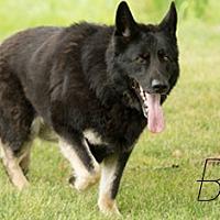 German Shepherd Dog Dog for adoption in Carlsbad Springs, Ontario - Bella