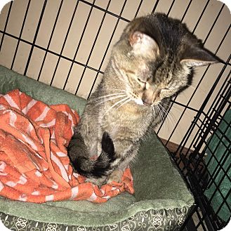 Domestic Shorthair Cat for adoption in Wichita, Kansas - Miss Kitty