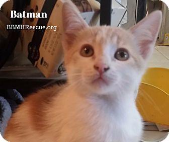 Domestic Shorthair Kitten for adoption in Temecula, California - Batman