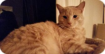 Domestic Shorthair Cat for adoption in Spring, Texas - momma