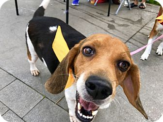 Beagle Mix Dog for adoption in San Francisco, California - Sol