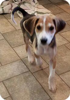 Hound (Unknown Type) Mix Puppy for adoption in Richmond, Virginia - Cookie
