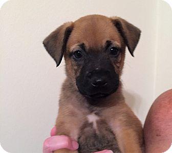 Belgian Malinois Mix Puppy for adoption in Ft. Lauderdale, Florida - Meagan