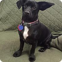 Adopt A Pet :: Milana - Hawk Point, MO