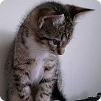 Adopt A Pet :: Socks - Kirkwood, DE
