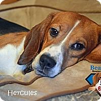 Adopt A Pet :: Hercules - Yardley, PA