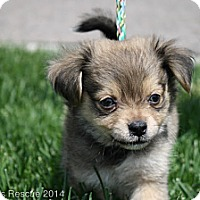 Adopt A Pet :: Charlie Brown - Broomfield, CO