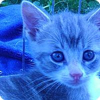Adopt A Pet :: Active loving Smoky Joe - Columbus, OH
