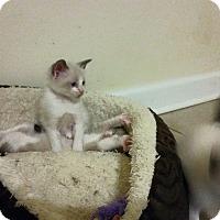Adopt A Pet :: Lilith -Rosebud's baby - McDonough, GA