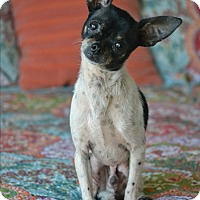 Chihuahua Mix Dog for adoption in Bedminster, New Jersey - Howie