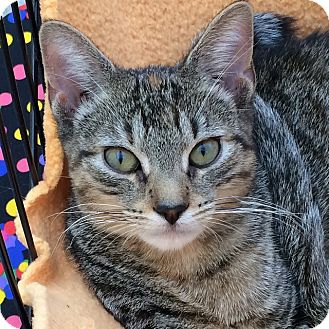 Domestic Shorthair Kitten for adoption in Brooklyn, New York - Lillian Gish