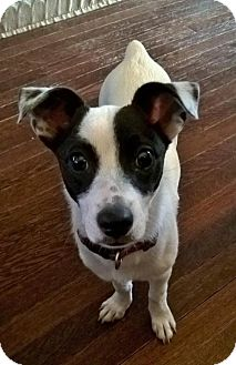 Jack Russell Terrier/Toy Fox Terrier Mix Puppy for adoption in Southeastern, Pennsylvania - Freckles