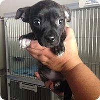 Adopt A Pet :: Lydia - Cashiers, NC
