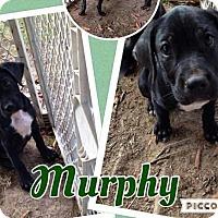 Adopt A Pet :: Murphy - Lexington, NC