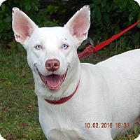 Kishu/Husky Mix Dog for adoption in Williamsport, Maryland - Diamond (53 lb) BLUE Eyes!