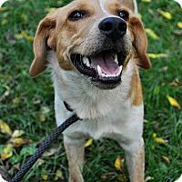 Beagle/Australian Shepherd Mix Dog for adoption in Lafayette, Indiana - Jiffy
