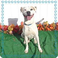 American Bulldog/Labrador Retriever Mix Dog for adoption in Marietta, Georgia - RALEIGH