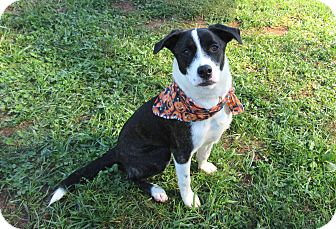 Terrier (Unknown Type, Medium) Mix Puppy for adoption in Lexington, North Carolina - GENE