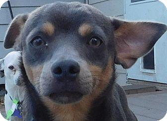 Miniature Pinscher Mix Dog for adoption in MINNEAPOLIS, Kansas - Camper