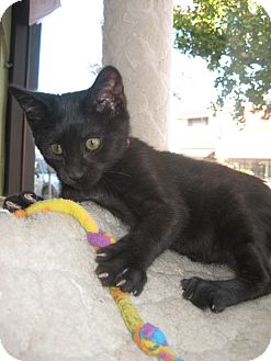 Domestic Shorthair Kitten for adoption in Sherman Oaks, California - Mutumbo