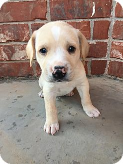 English Pointer Mix Puppy for adoption in oklahoma city, Oklahoma - Rover