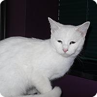 Adopt A Pet :: Snow White - Harmony, NC