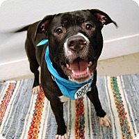 Adopt A Pet :: Capone - Wilmington, DE