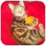 Photo 1 - Domestic Shorthair Kitten for adoption in Little Neck, New York - kayla