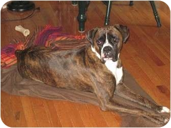 Boxer Dog for adoption in Grafton, Massachusetts - Duke