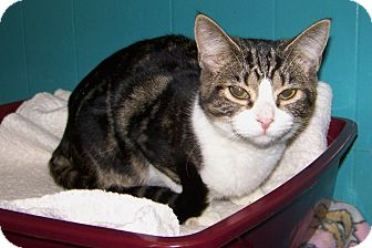 Domestic Shorthair Cat for adoption in Dover, Ohio - Renee'