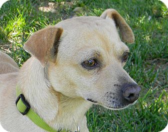 Chihuahua Mix Dog for adoption in Mountain Center, California - Louis