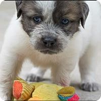 Adopt A Pet :: Primrose - Austin, TX