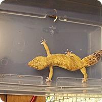 Adopt A Pet :: Number Seven, a leopard gecko - Bristow, VA