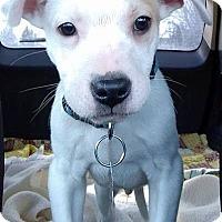 Adopt A Pet :: Spot - Elyria, OH