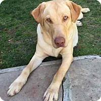 Adopt A Pet :: Miles - San Francisco, CA