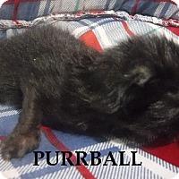 Adopt A Pet :: Purrball - Batesville, AR