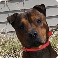 Shar Pei Mix Dog for adoption in Monroe, Michigan - Camu
