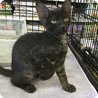 Adopt A Pet :: Luna - Gilbert, AZ