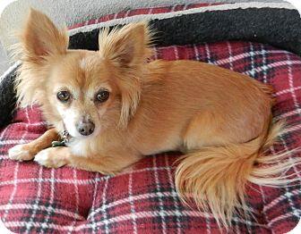 Chihuahua Dog for adoption in Escondido, California - Sparky