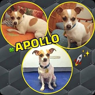 Chihuahua/Jack Russell Terrier Mix Dog for adoption in Scottsdale, Arizona - Apollo
