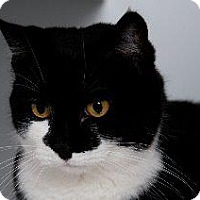 Domestic Mediumhair Cat for adoption in Queenstown, Maryland - Harley Davidson